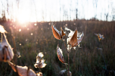 Milkweed at Sunset: Suttons Bay, Michigan