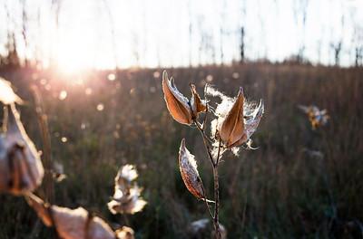 Milkweed at Sunset: Suttons Bay, Michigan