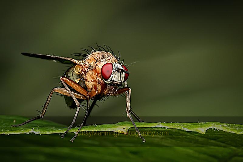 Fruit Fly on the Edge