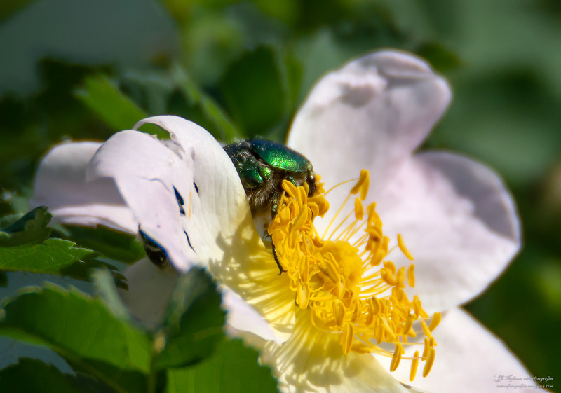 innsekt GullbasseHårgullbasse ps-074
