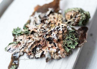 Lichen on Leaf 2020