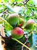 ripening figs