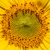 The Beauty of a Sunflower