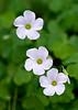 Oxalis incarnata (Lilac Oxalis)