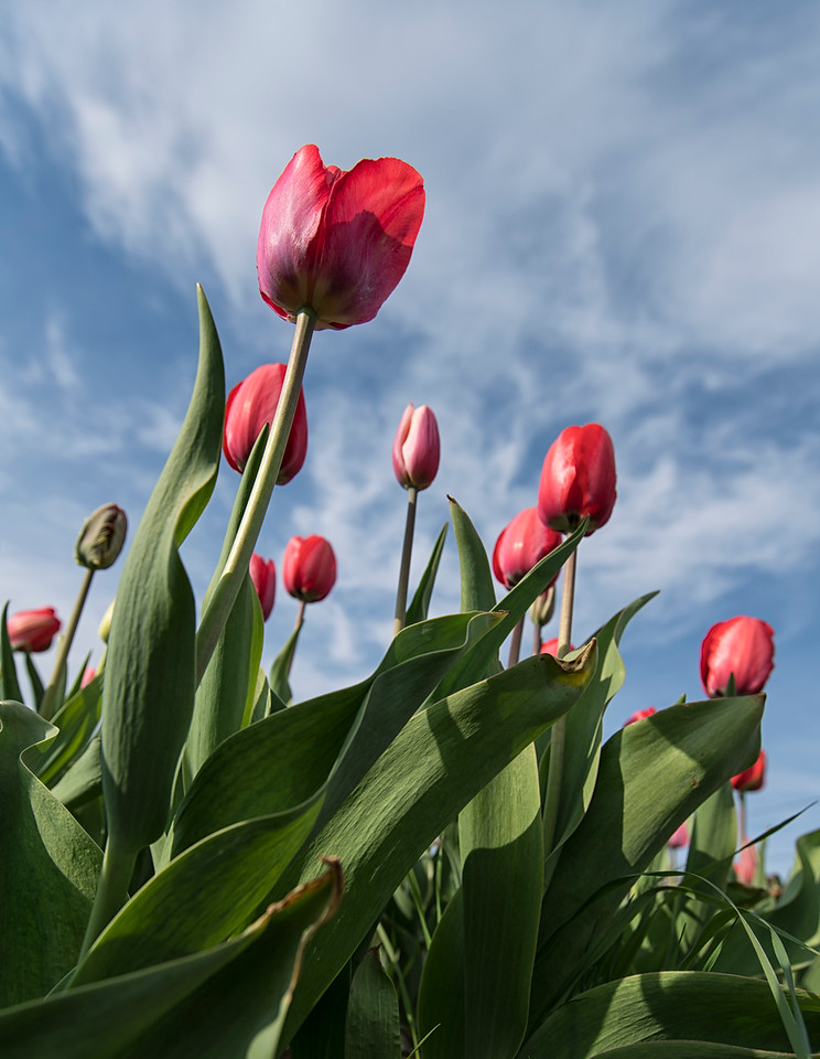 Red Tulips Reach to the Sky