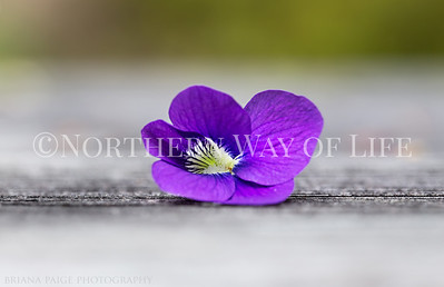Violet flowers in Spring