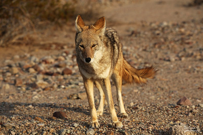 Bad Water Coyote