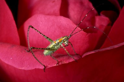 Katydid on rose