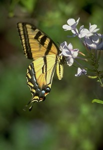Butterfly on bloom #2