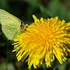 sommerfugl ps-001