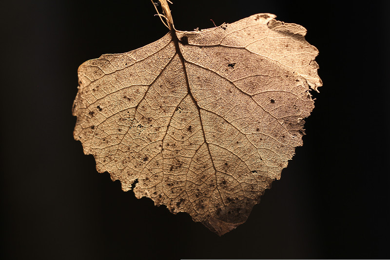 Skeleton leaf - I found this 2 years ago and saved it until I had a macro lens to shoot it.