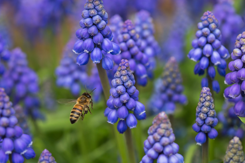 Buzzing in the grape hyacinth