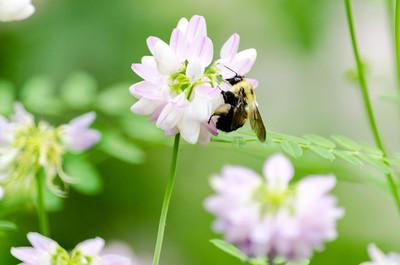 Bumblebee, clover