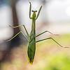 Praying Mantis 10/23/16