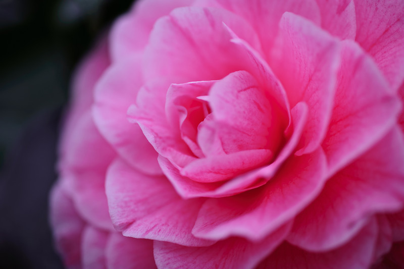 hybrid camellia, original color, December 30, 2010