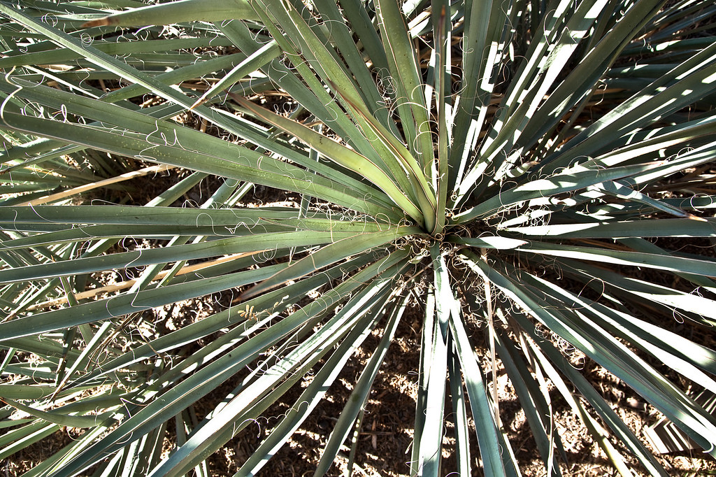 Banana Yucca Plant from Above