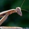 Praying Mantis 8/28/16