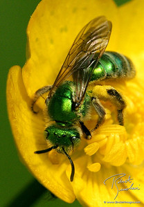 Green Sweatbee