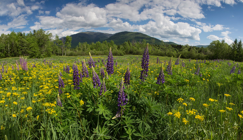 Field of Lupine Panorama