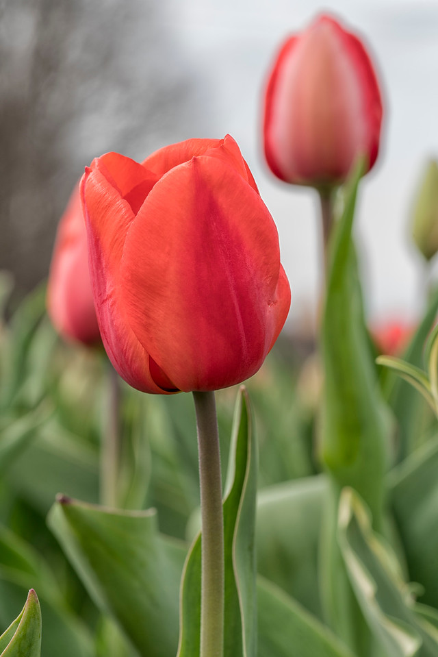 Two Red Wicked Tulips_7586