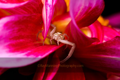 Crab Spider on Dahlia