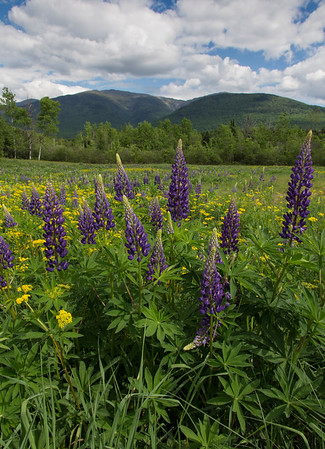 Field of Lupine 774
