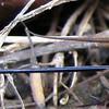 Rear Spear Cricket