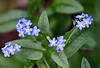 Myosotis arvernis (Field Forget-me-not)