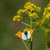 sommerfugl Aurora ps-009