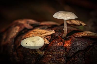 Mushrooms From Douglas Fir Cone