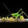 Amazon green cricket