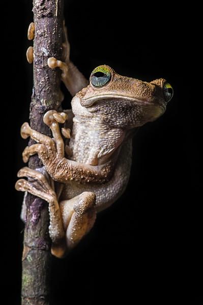 Gladiator Frog 3