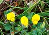 Lotus angustissimus (Slender Birdsfoot Trefoil)
