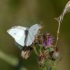 sommerfugl ps-060