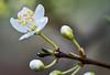 Plum Blossoms. 13x stack with Nikon D800E & 200mm Micro-Nikkor @ f16 plus Stackshot.