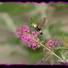 Hummingbird Moth feeding from a Butterfly Bush