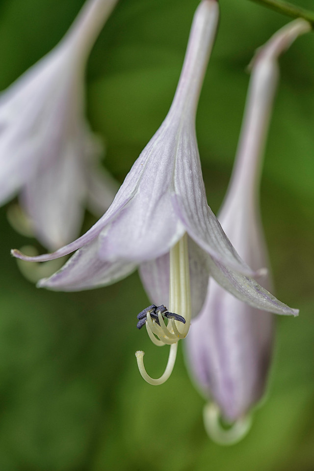 Hosta Blossoms_8968