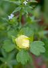 Potentilla indica (Mock Strawberry)