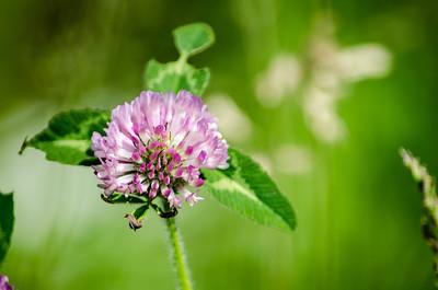 Uncommon clover, macro