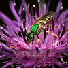 Metallic Green on Knapweed