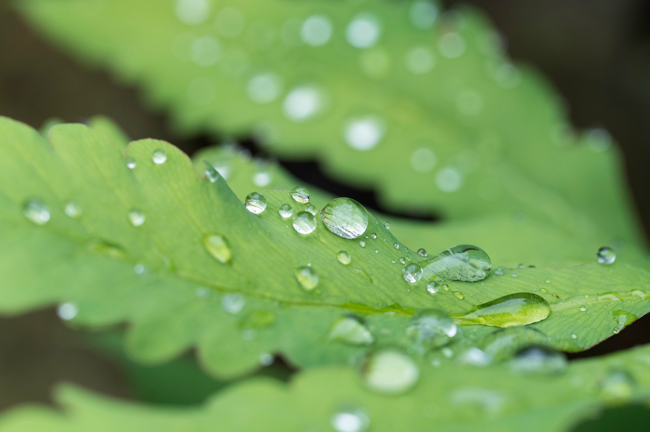 Fern and Raindrops_8459