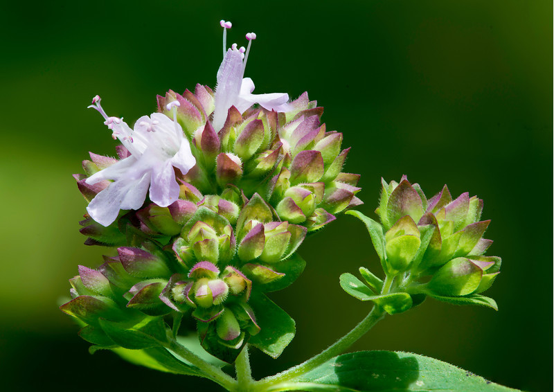 Oreganum vulgare