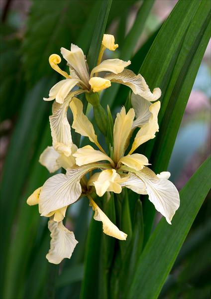 Irises. Nikon D800E & Zeiss 100mm Makro-Planar @ f8