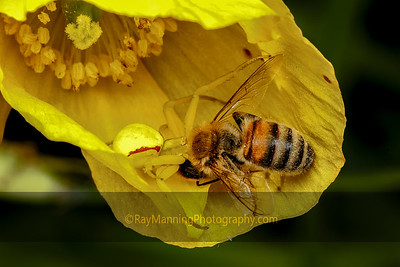 Flower Crab Spider with Honey Bee
