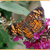 "This Silvery Checkerspot Butterflys wing spread is only 2"" tip to tip!"