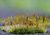 Moss after the rain: 30x Stack with Nikon D800E, 200mm Micro-Nikkor @ f16 & Stackshot