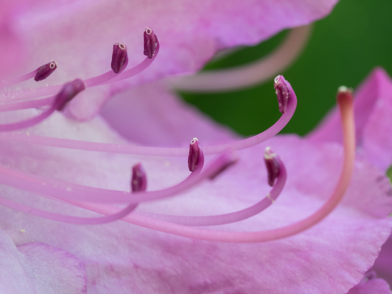 Rhododendron Anthers