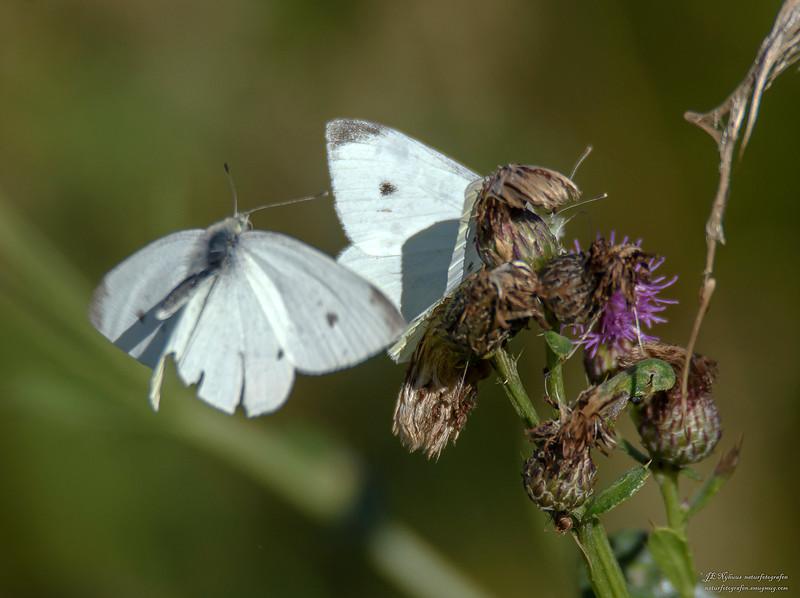 sommerfugl ps-058