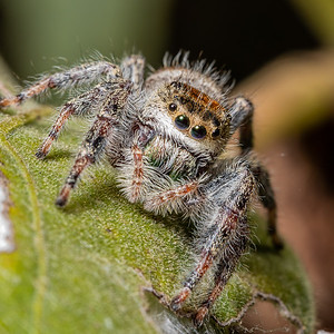 Face to face with a phidippus