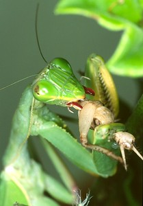 Praying Mantis eats cricket